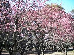梅の花も咲き始めた。大宮公園にて。