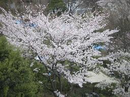 等々力緑地公園の桜。