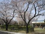 敷島公園も桜が見頃。