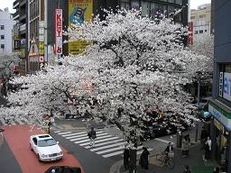 渋谷駅南口の桜。今年ももう見納めか。