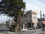 与野駅前、旧中山道の交差点に鎮座する、ケヤキの木。