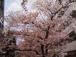 やや葉桜になりつつあるが、首都圏では今日あたりまで花見ができたね。