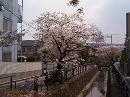 二ヶ領用水と桜。背後は東横線の高架。