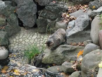浅草寺の猫