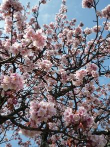 0202 あたみ桜1