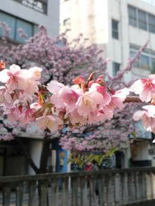 0202 あたみ桜4