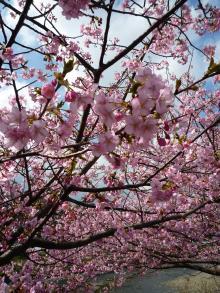 0223 河津桜1