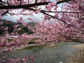 0223 河津桜3