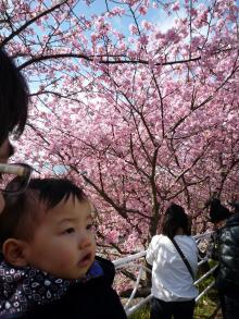0223 河津桜5