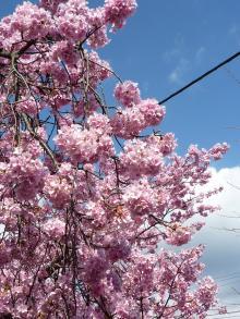 0223 河津桜6