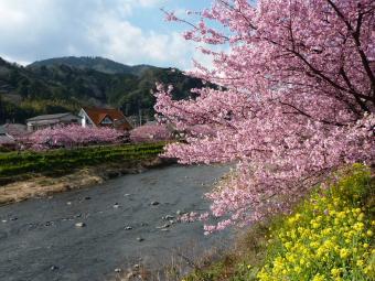 0223 河津桜7