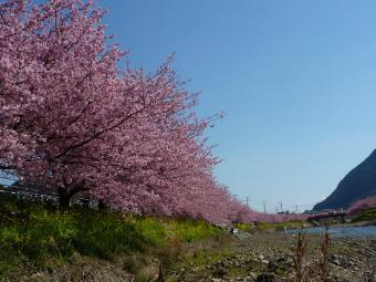 0223 河津桜8