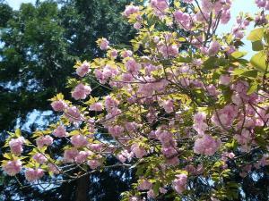 100430 八重桜