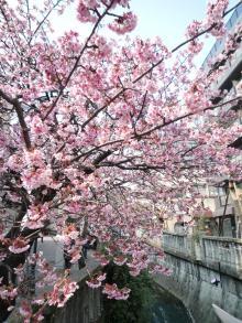 110206 熱海桜02