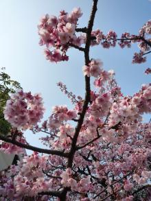 110206 熱海桜03