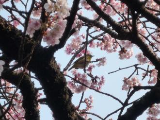 110206 熱海桜04