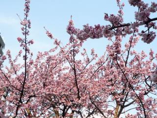110206 熱海桜05