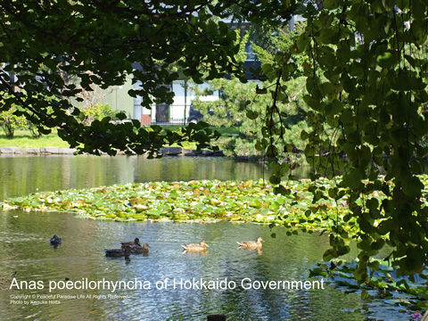 旧北海道庁舎の池とカルガモ