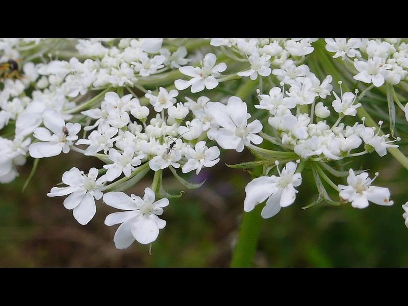 ノラニンジン 花