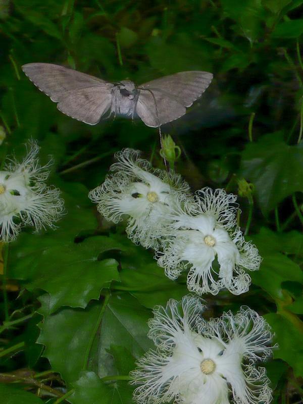 キカラスウリ 蛾