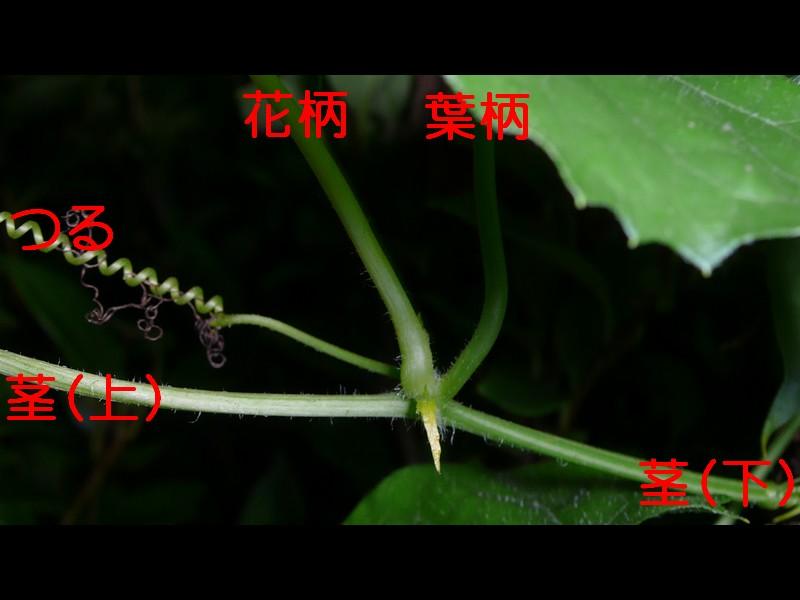 キカラスウリ 茎等