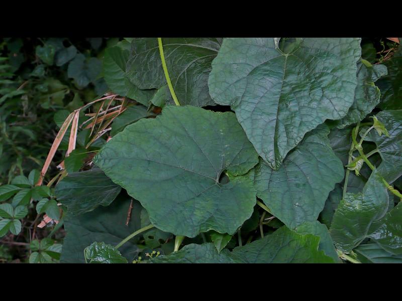 カラスウリ 葉