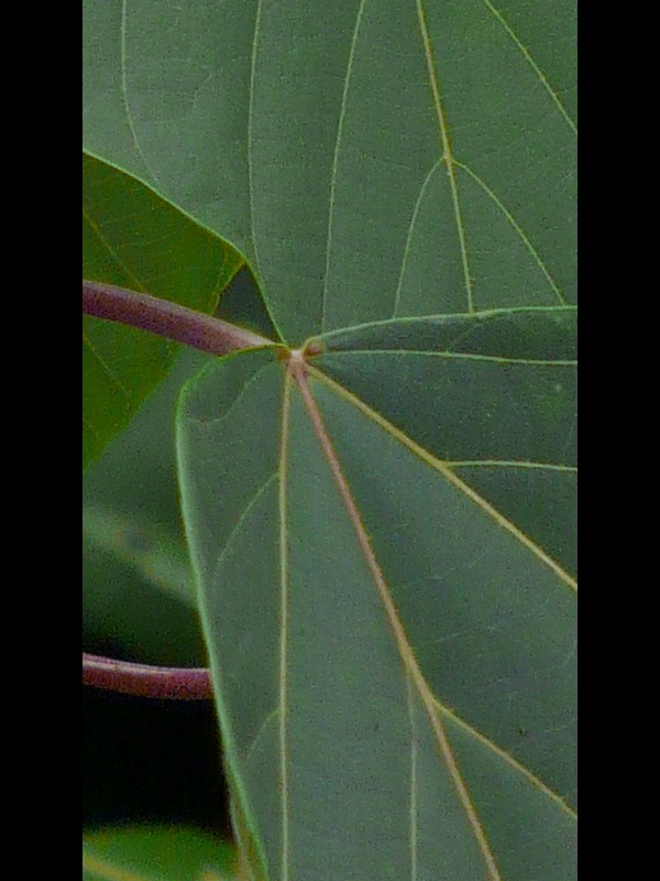 アカメガシワ 葉の腺