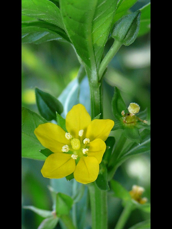 ウスゲチョウジタデ 6弁の花