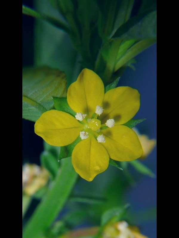 ウスゲチョウジタデ 花