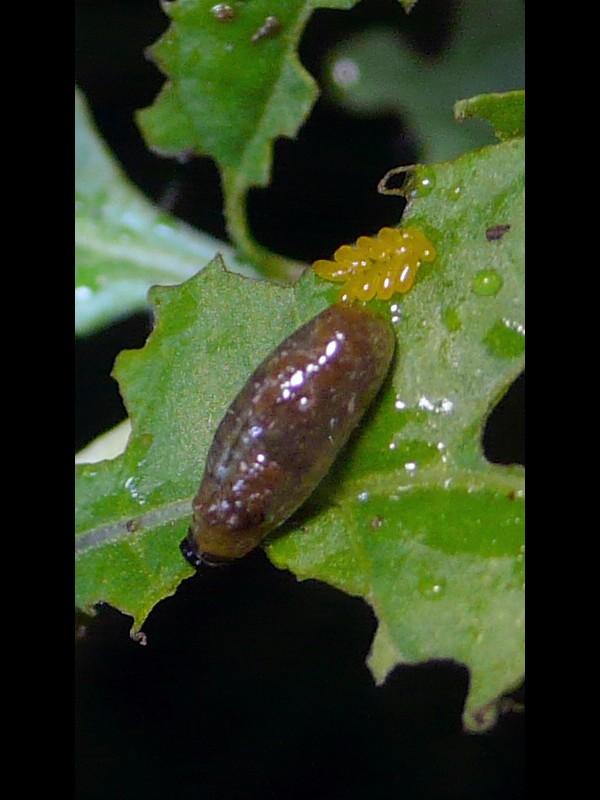 クコ トホシクビボソハムシ 幼虫