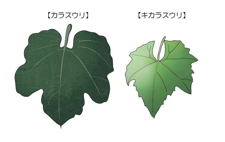 カラスウリ キカラスウリ 葉の違い