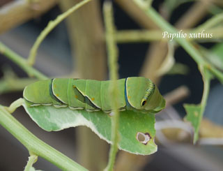 Papilio xuthus2