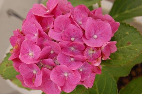 Rose-Ajisai.jpg