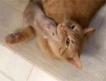 Rat loves cat!