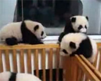 子パンダの乱闘(panda)