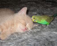 セキセイインコと仲良しな猫