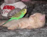 セキセイインコと仲良しな猫2
