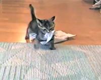 タオルを持ってくる子猫