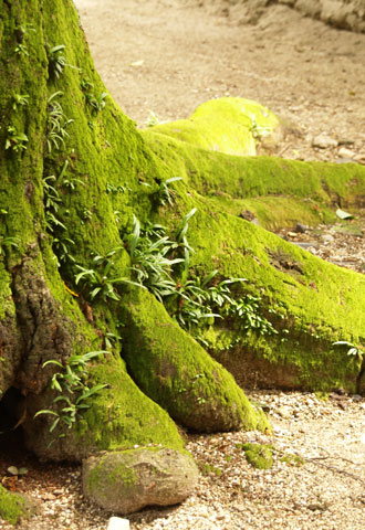 苔むした木の根っこ