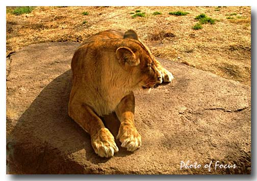 百獣の王 ライオン(♀)