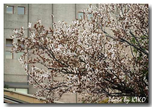 ベニスモモの木