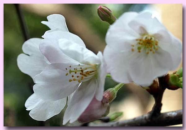大島桜 1