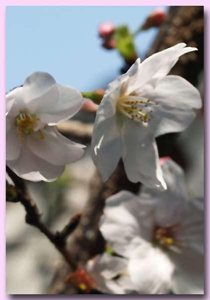 大島桜 3