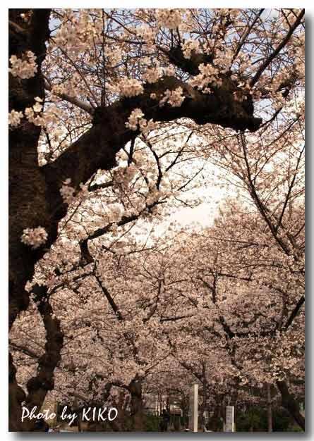 靱公園で桜