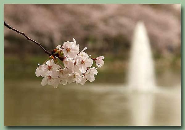 噴水も桜色?