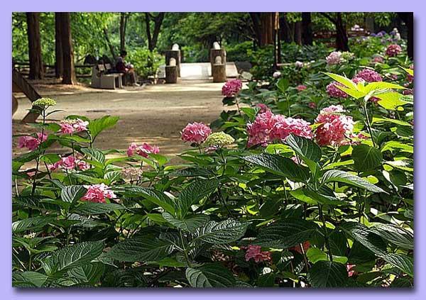 長居植物園の紫陽花の谷
