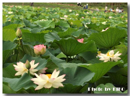 長居植物園蓮池