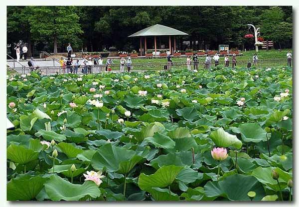 長居植物園の蓮池で