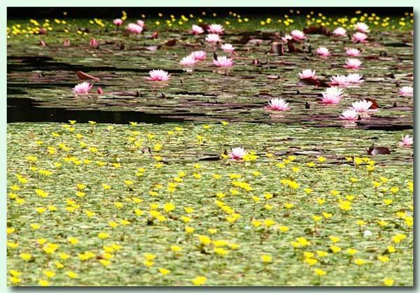 黄色い水草