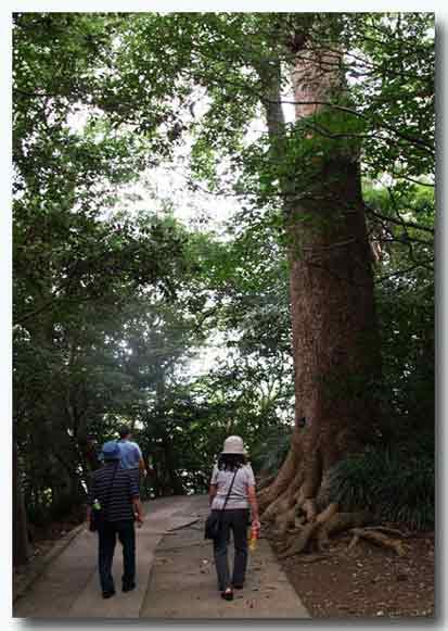 大きな楠木